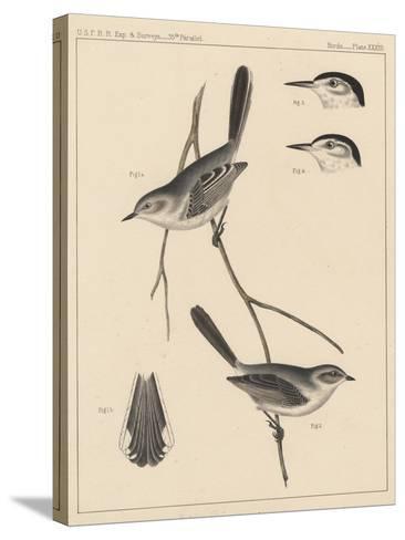 Birds, Plate XXVIII, 1855--Stretched Canvas Print