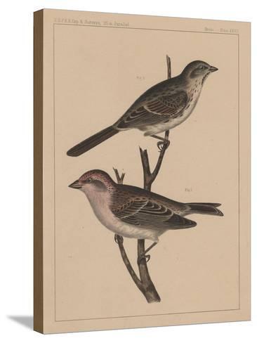 Birds, Plate XXVII, 1855--Stretched Canvas Print