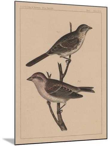 Birds, Plate XXVII, 1855--Mounted Giclee Print