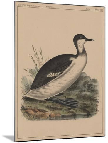 Birds, Plate VIII, 1855--Mounted Giclee Print