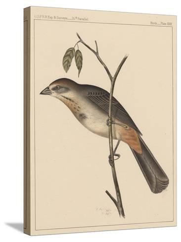 Birds, Plate XXIX, 1855--Stretched Canvas Print