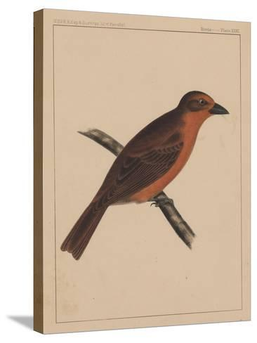 Birds, Plate XXXI, 1855--Stretched Canvas Print