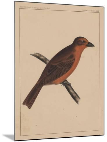 Birds, Plate XXXI, 1855--Mounted Giclee Print