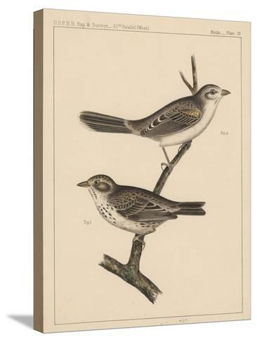 Birds, Plate IV, 1855--Stretched Canvas Print