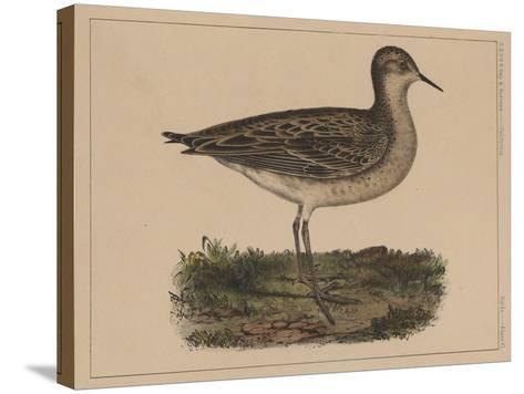 Birds, Plate VI, 1855--Stretched Canvas Print