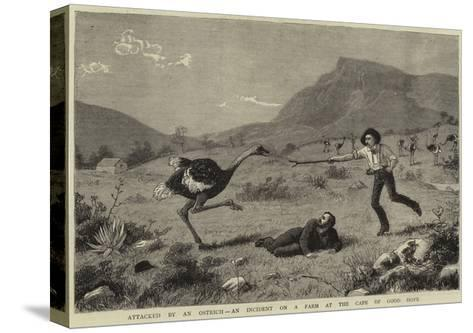 Attacked by an Ostrich, an Incident on a Farm at the Cape of Good Hope--Stretched Canvas Print