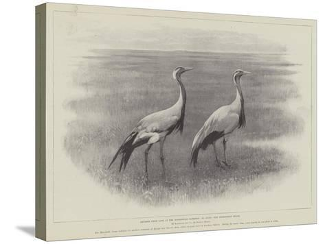 Studies from Life at the Zoological Gardens, the Demoiselle Crane--Stretched Canvas Print