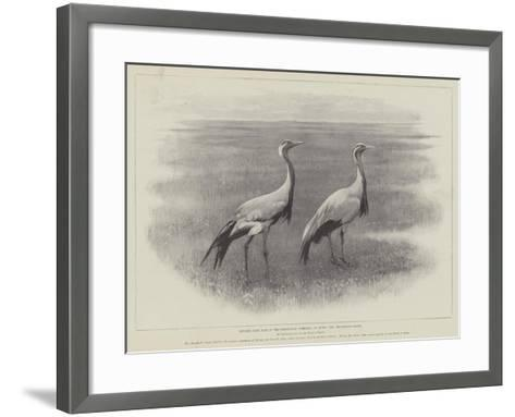 Studies from Life at the Zoological Gardens, the Demoiselle Crane--Framed Art Print