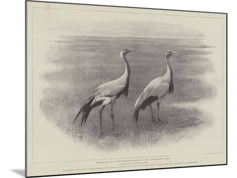 Studies from Life at the Zoological Gardens, the Demoiselle Crane--Mounted Giclee Print