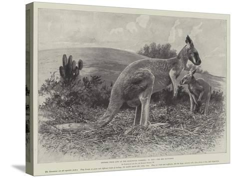 Studies from Life at the Zoological Gardens, the Red Kangaroo--Stretched Canvas Print