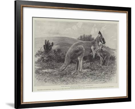 Studies from Life at the Zoological Gardens, the Red Kangaroo--Framed Art Print