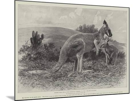 Studies from Life at the Zoological Gardens, the Red Kangaroo--Mounted Giclee Print