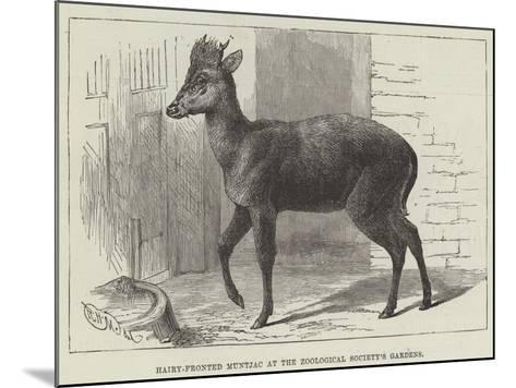 Hairy-Fronted Muntjac at the Zoological Society's Gardens--Mounted Giclee Print