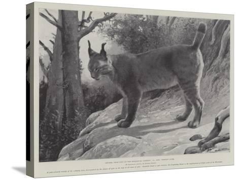 Studies from Life at the Zoological Gardens, Tibetan Lynx--Stretched Canvas Print