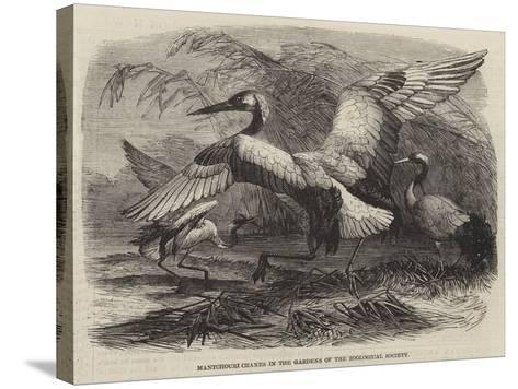Mantchouri Cranes in the Gardens of the Zoological Society--Stretched Canvas Print