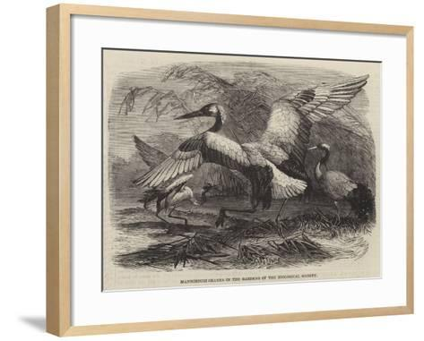 Mantchouri Cranes in the Gardens of the Zoological Society--Framed Art Print