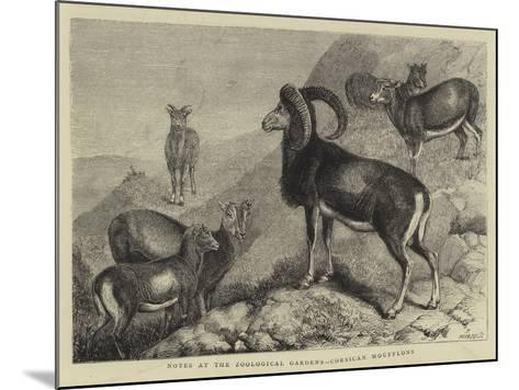 Notes at the Zoological Gardens, Corsican Moufflons--Mounted Giclee Print