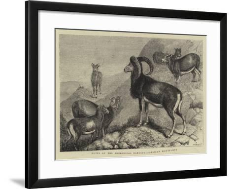Notes at the Zoological Gardens, Corsican Moufflons--Framed Art Print