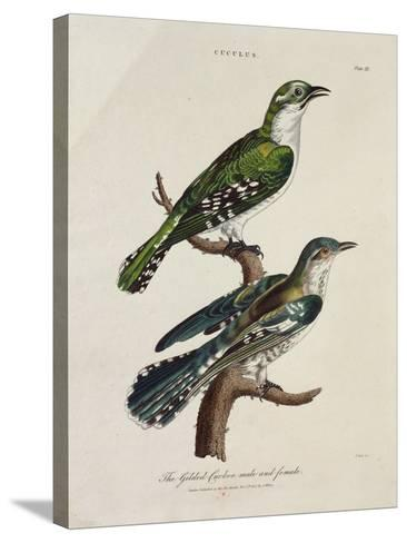 Gilded Cuckoo, Male and Female (Cuculus)--Stretched Canvas Print