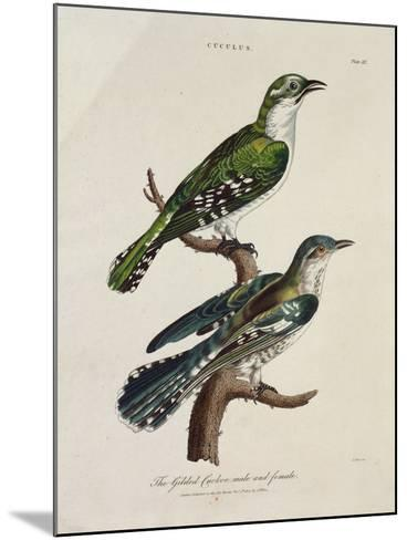 Gilded Cuckoo, Male and Female (Cuculus)--Mounted Giclee Print