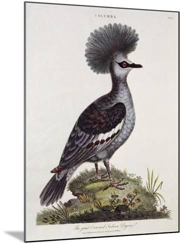 Great Crested Indian Pigeon--Mounted Giclee Print