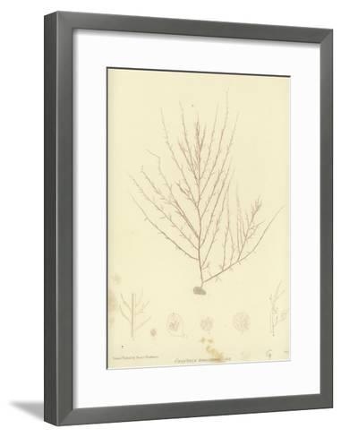 British Sea-Weed--Framed Art Print