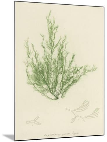 British Sea-Weed--Mounted Giclee Print