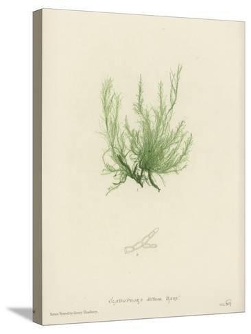 British Sea-Weed--Stretched Canvas Print