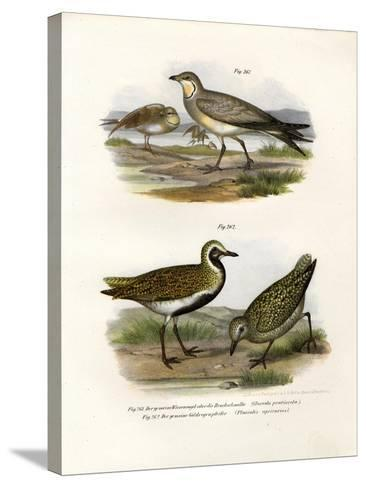Collared Pratincole, 1864--Stretched Canvas Print