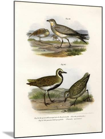 Collared Pratincole, 1864--Mounted Giclee Print