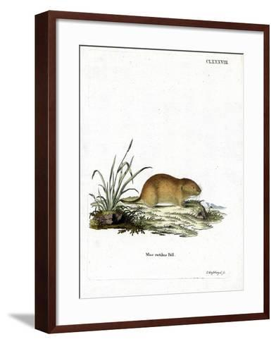 Northern Red-Backed Vole--Framed Art Print