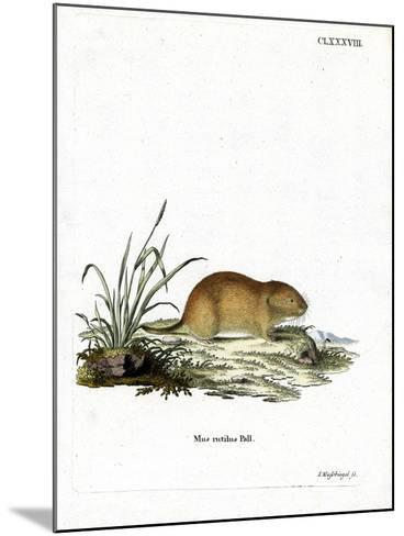 Northern Red-Backed Vole--Mounted Giclee Print