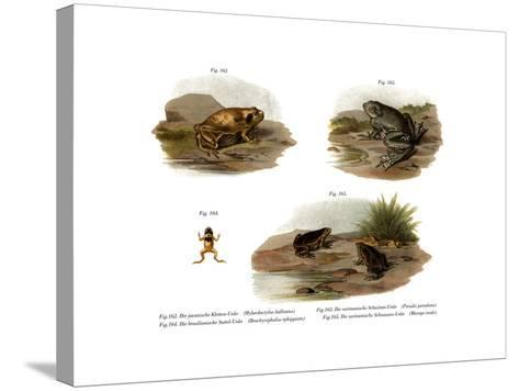 Muller's Narrowmouth Toad--Stretched Canvas Print