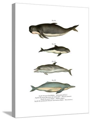 Long-Finned Pilot Whale, 1860--Stretched Canvas Print