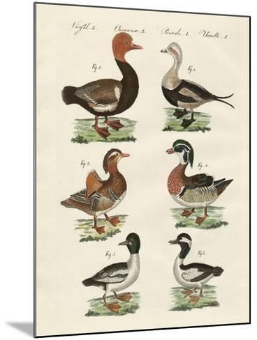 Different Kinds of Ducks--Mounted Giclee Print