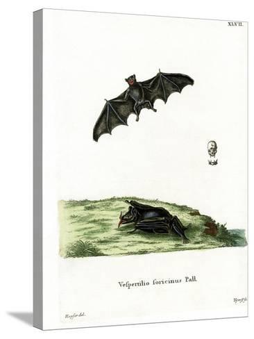 Pallas's Long-Tongued Bat--Stretched Canvas Print
