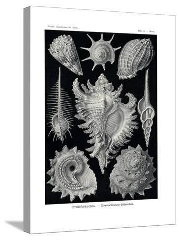 Ctenobranchia, 1899-1904--Stretched Canvas Print