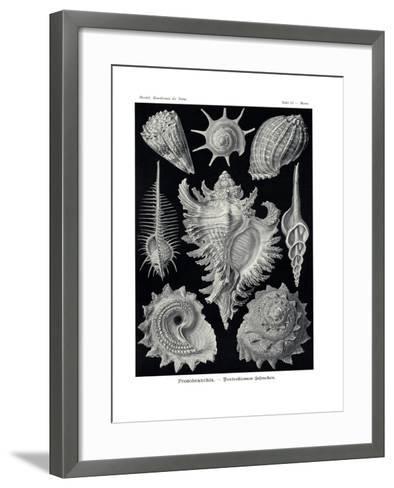 Ctenobranchia, 1899-1904--Framed Art Print