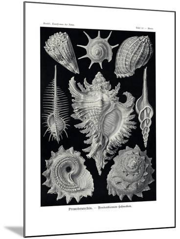 Ctenobranchia, 1899-1904--Mounted Giclee Print