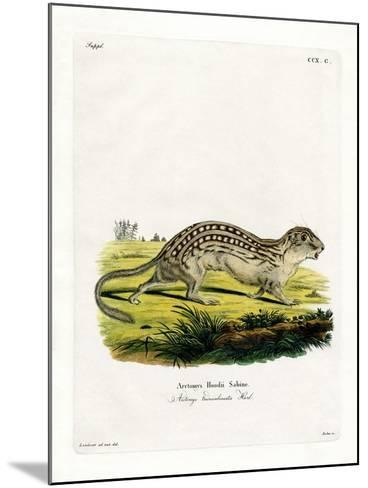 Thirteen-Lined Ground Squirrel--Mounted Giclee Print