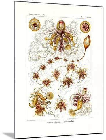 Siphonophorae, 1899-1904--Mounted Giclee Print