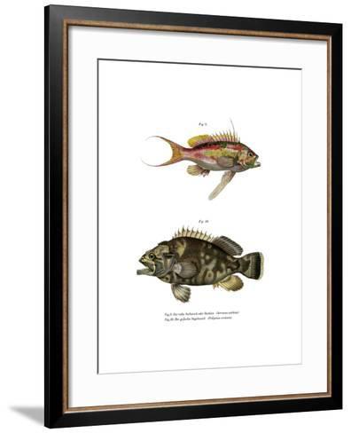 Swallowtail Seaperch--Framed Art Print