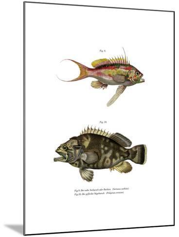 Swallowtail Seaperch--Mounted Giclee Print