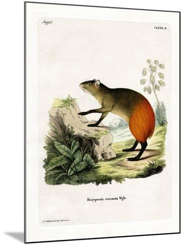 Golden-Rumped Agouti--Mounted Giclee Print