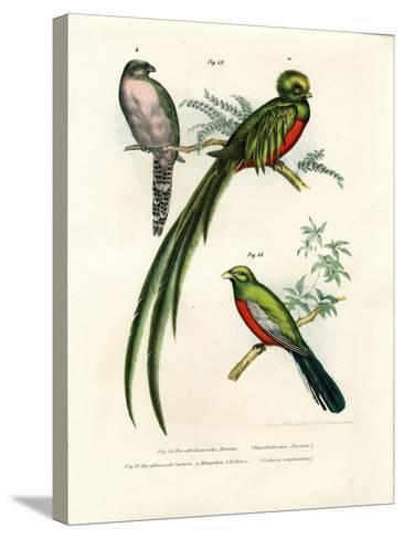Narina Trogon, 1864--Stretched Canvas Print