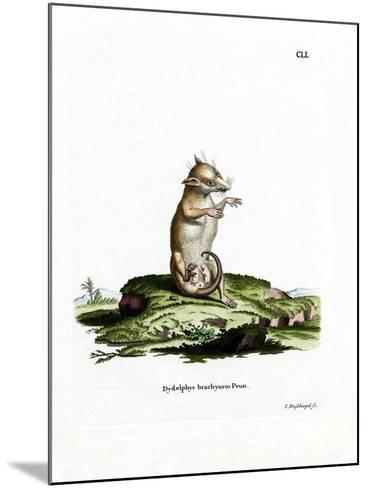 Short-Tailed Opossum--Mounted Giclee Print