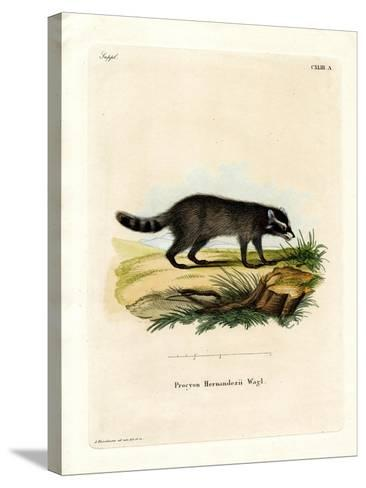 Black-Footed Raccoon--Stretched Canvas Print