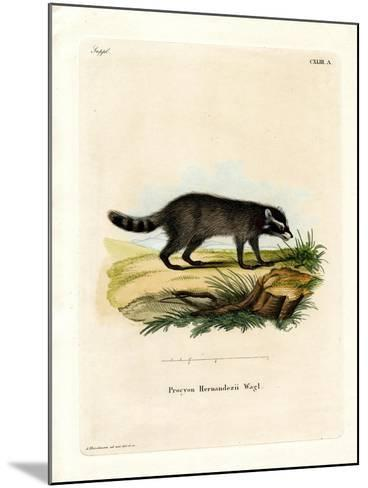 Black-Footed Raccoon--Mounted Giclee Print