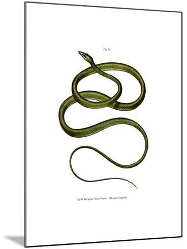 Long-Nosed Tree Snake--Mounted Giclee Print