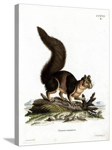 Indian Giant Squirrel--Stretched Canvas Print